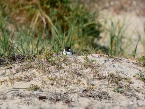Hooded Plover on mound